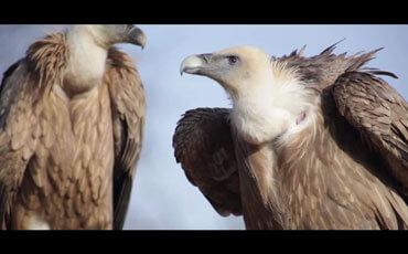 Little Big 6ster et les vautours
